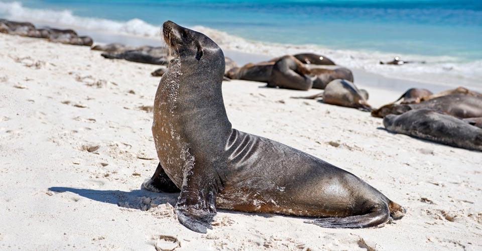 Galapagos sea lion, Española, Galapagos Islands, Ecuador