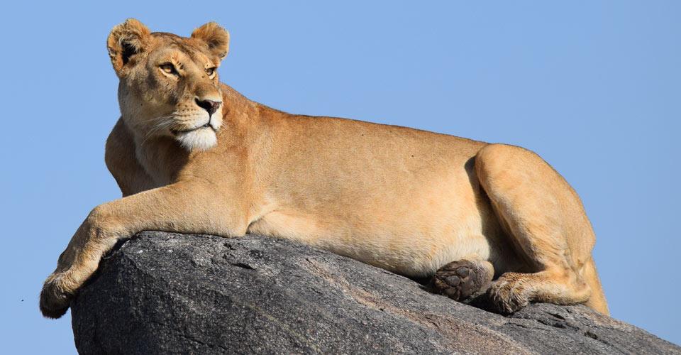 Lioness, Maasai Mara, Kenya
