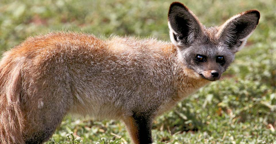 Bat-eared fox, Ngorongoro Crater, Tanzania