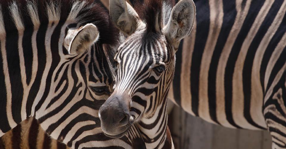 Burchell's zebra, Lake Manyara National Park, Tanzania