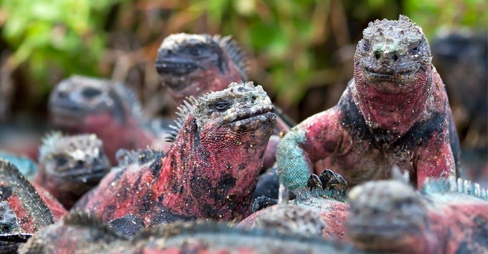 Galapagos marine iguanas, Española, Galapagos Islands