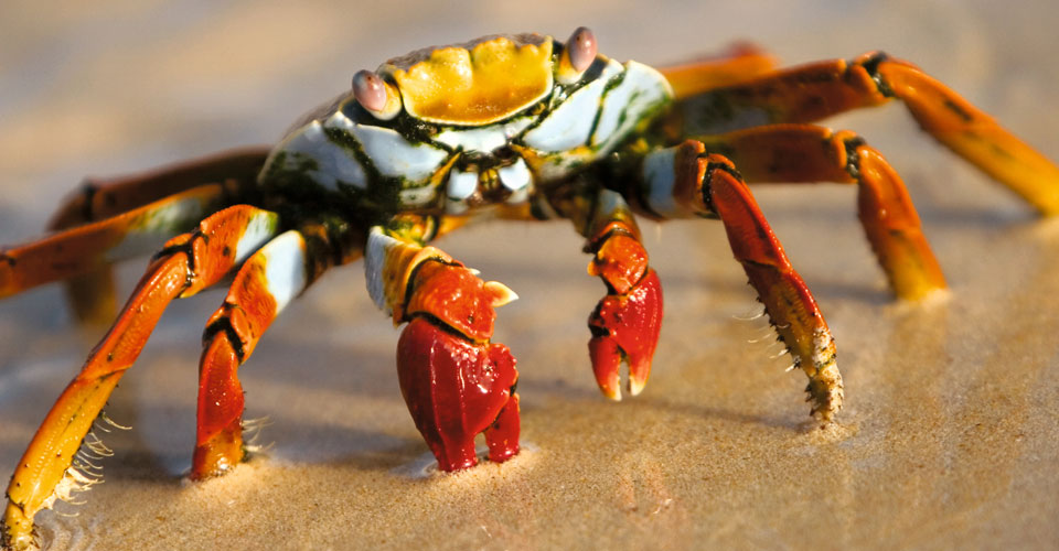 Sally lightfoot crab, Bartolome Island, Galapagos Islands