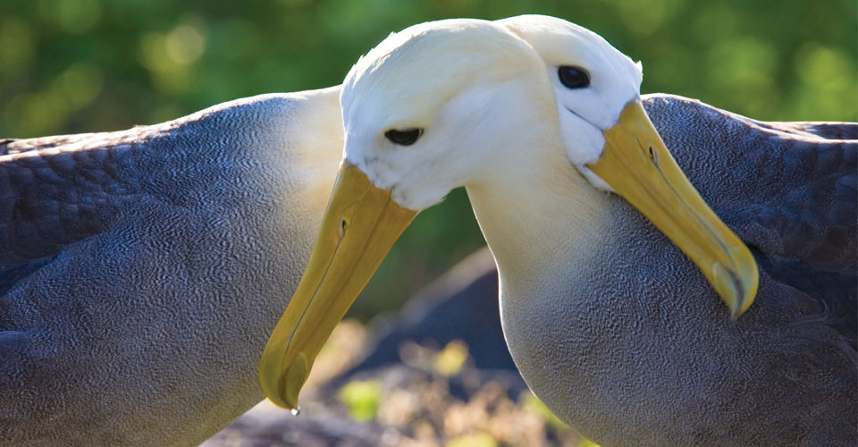 Albatrosses, Espanola Island, Galapagos Islands