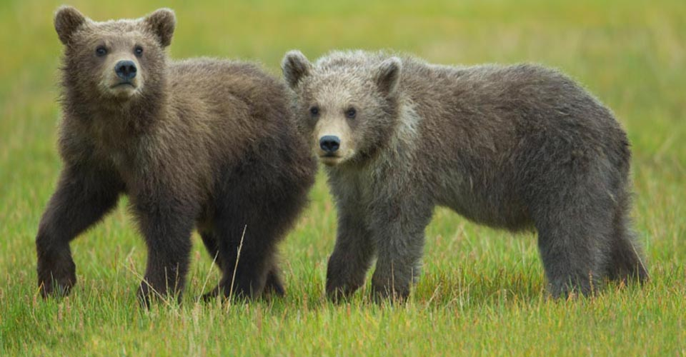 Grizzly bear cubs, Glacier National Park, Montana, USA