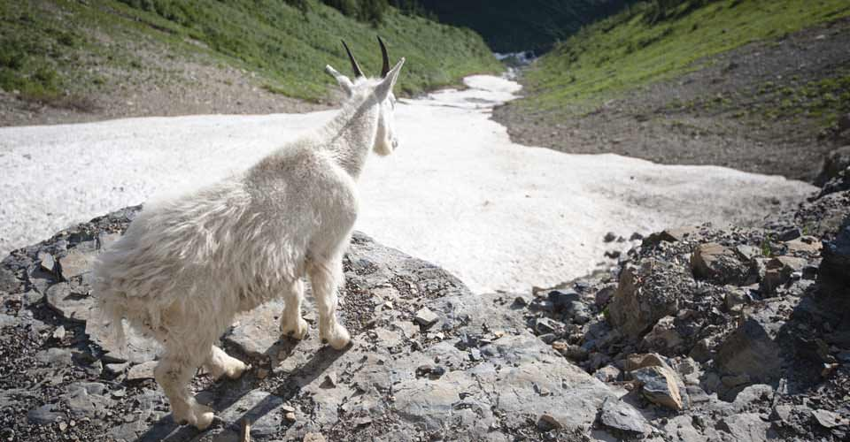 Mountain goat, Glacier National Park, Montana, USA