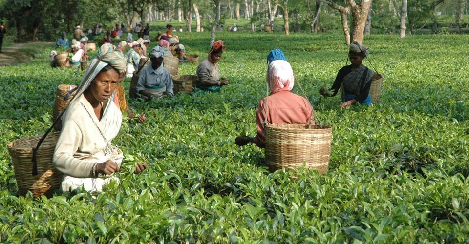 Tea plantation, Assam, India