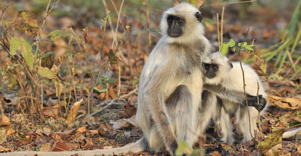 Black faced langur, Kanha National Park, India