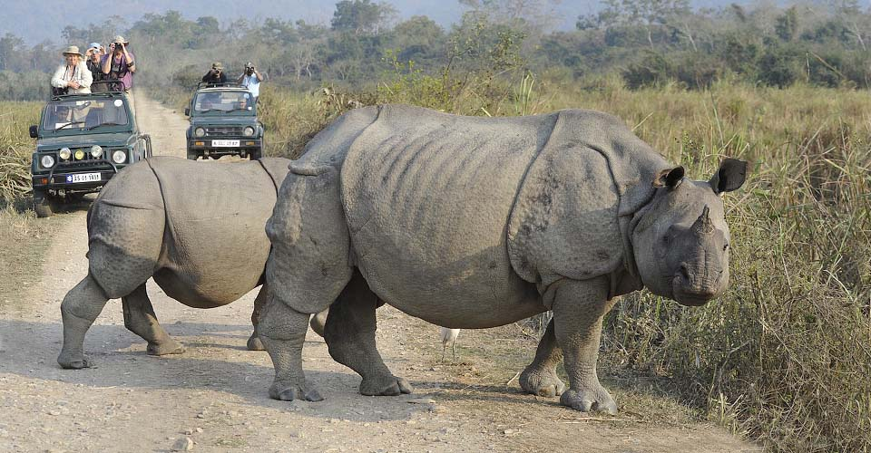 Asian one-horned rhinoceros, Kaziranga National Park, India