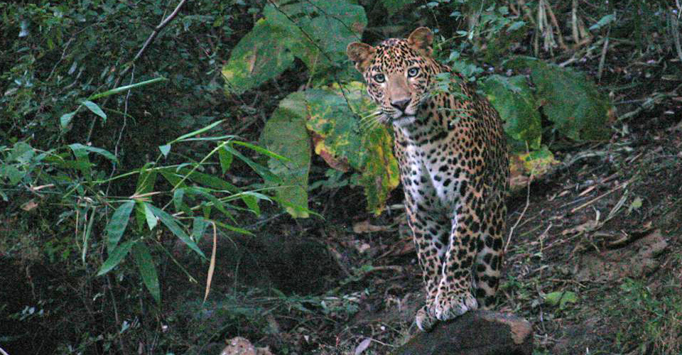 Indian leopard, Kanha National Park, India