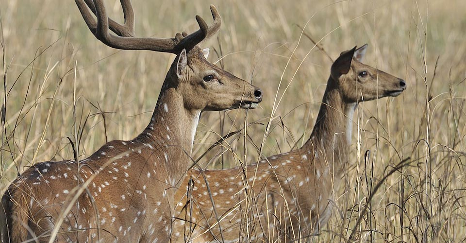 Spotted deer, Kanha National Park, India