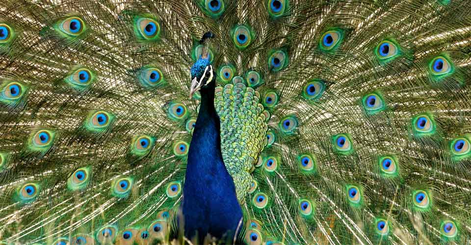 Indian peacock, Kanha National Park, India