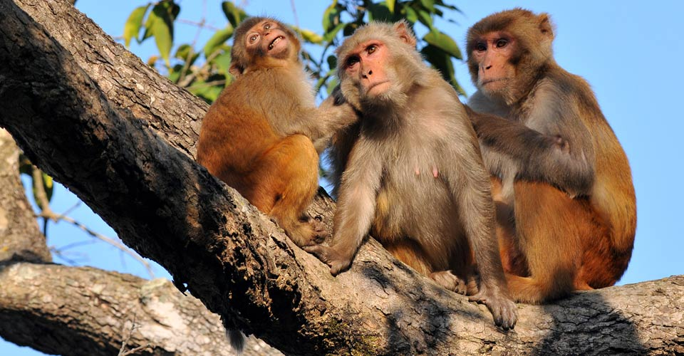 Rhesus macaques, Bandhavgarh National Park, India
