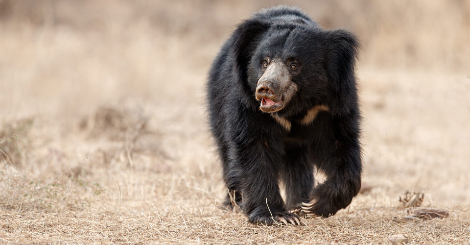 Sloth bear, Kanha National Park, India