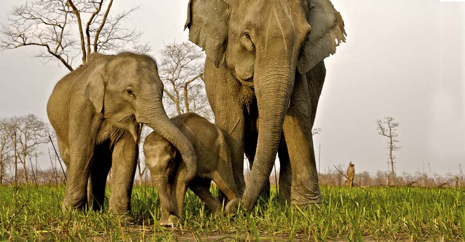 Asian elephants, Kaziranga National Park, India