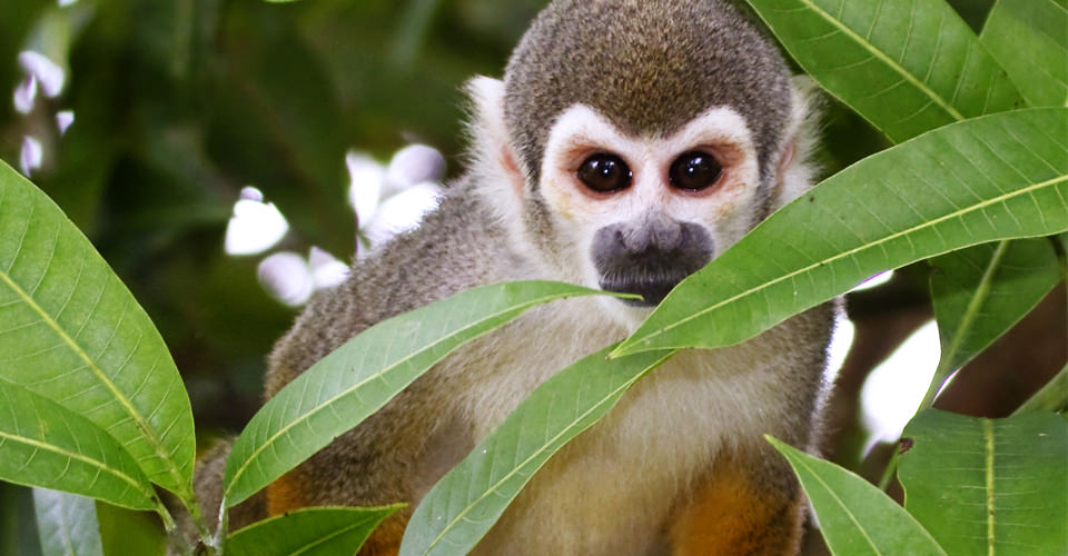 Squirrel monkey, Pacaya-Samiria National Reserve, Peru