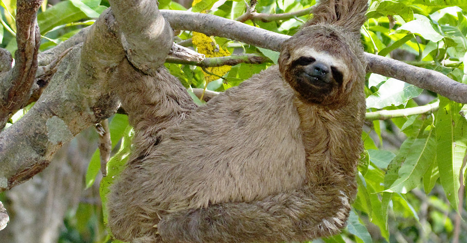 Three-toed sloth, Pacaya-Samiria National Reserve, Peru