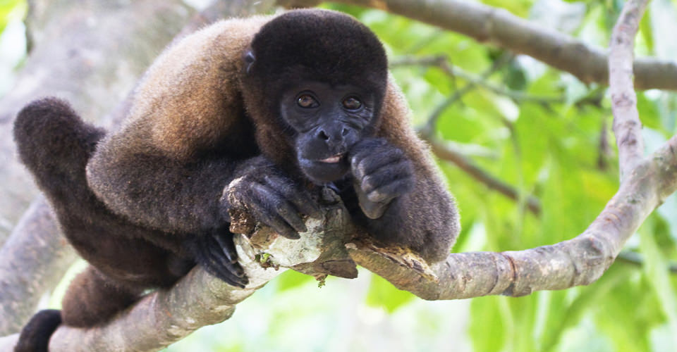 Woolly monkey, Pacaya-Samiria National Reserve, Peru