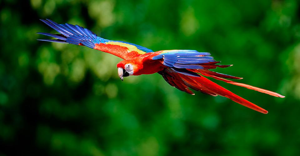 Scarlet macaw, Pacaya Samiria National Reserve, Peru