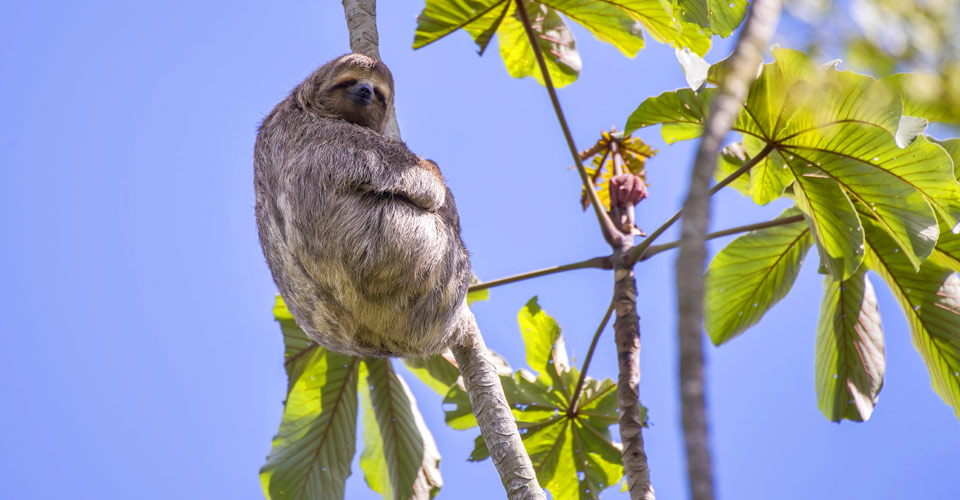 Three toed sloth, Pacaya Samiria National Reserve, Peru