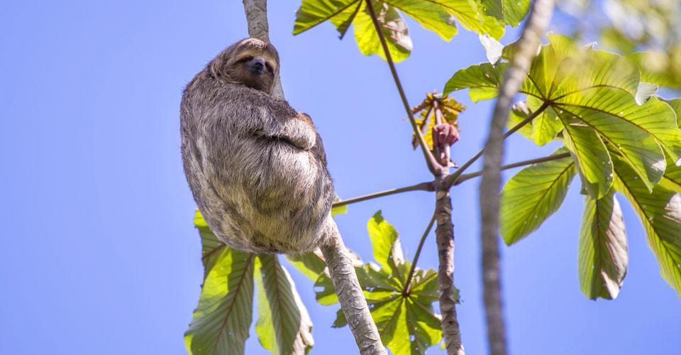 Three toed sloth, Pacaya Samiria National Reserve, Peru