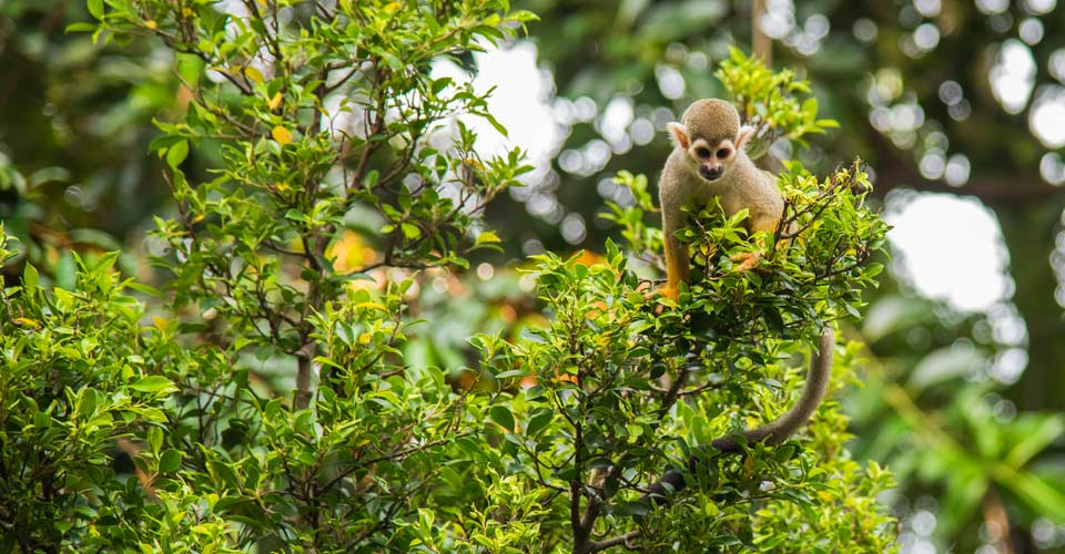 Squirrel monkey, Pacaya Samiria National Reserve, Peru
