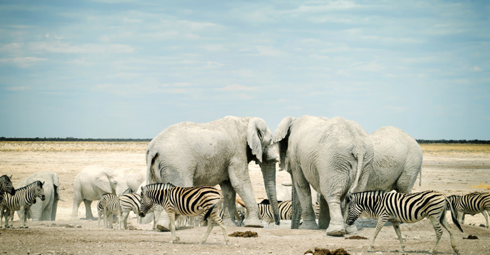 Burchell's zebra and African elephant, Etosha National Park, Namibia