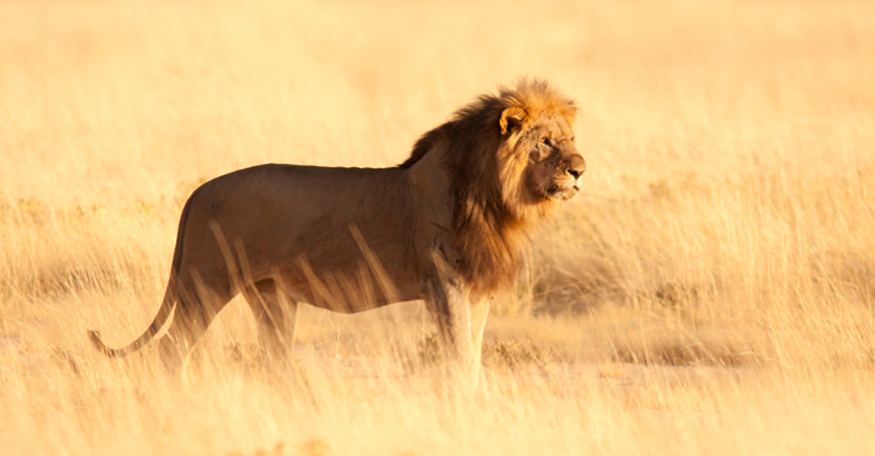 Southwest African lion, Ongava Game Reserve, Namibia