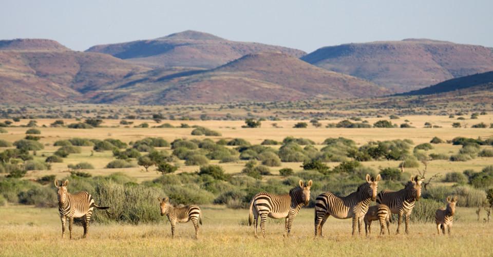 Hartmann's mountain zebra, Ongava Game Reserve, Namibia
