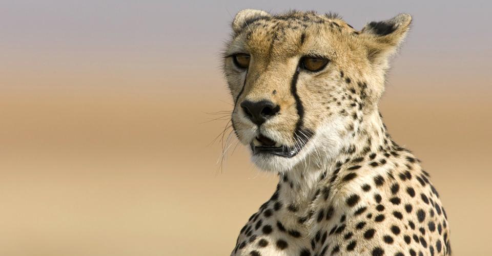 Southern Africa cheetah, Okonjima, Namibia