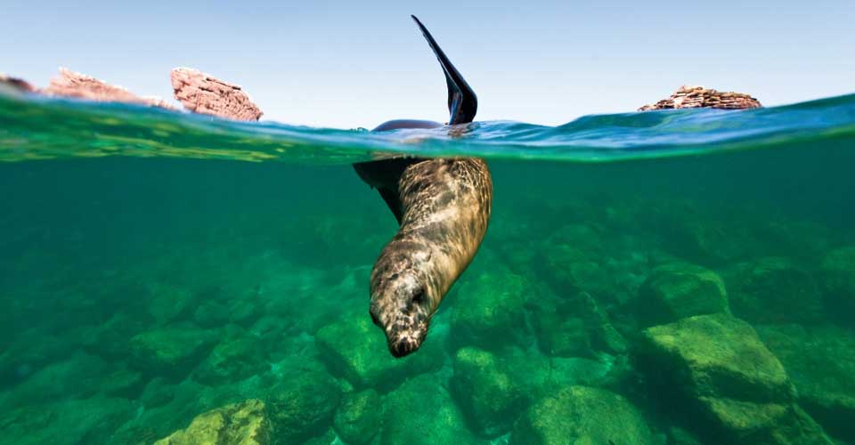 California sea lion, Los Islote, La Paz, Baja California Sur, Mexico