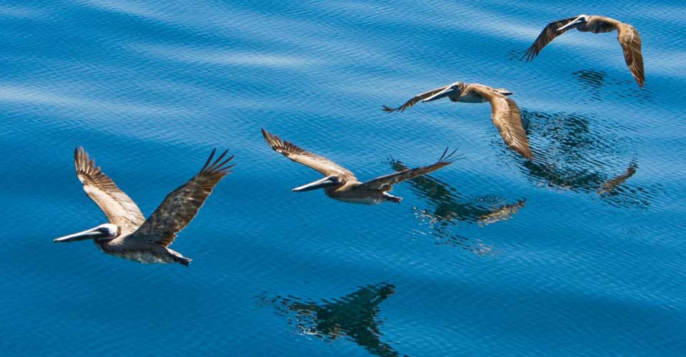 Brown pelicans, Sea of Cortez, Gulf of California, Baja California, Mexico
