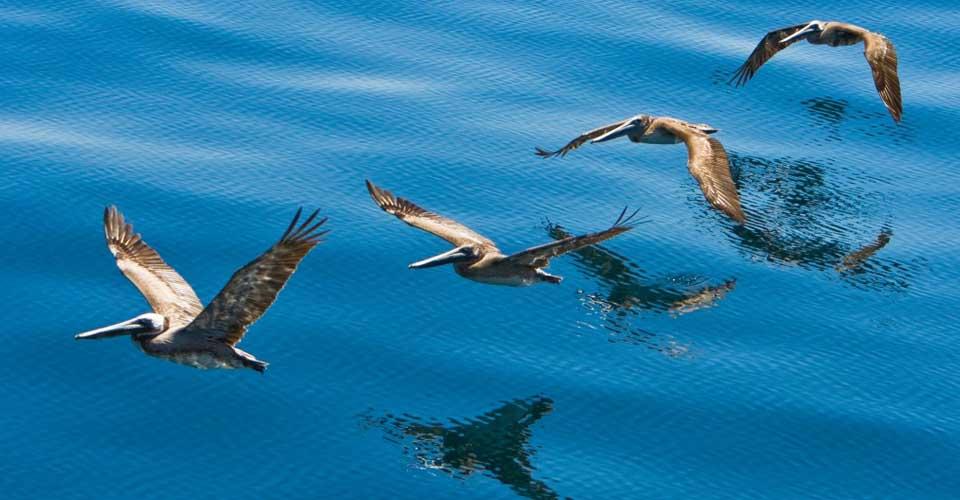 Brown pelicans, Sea of Cortez, Mexico