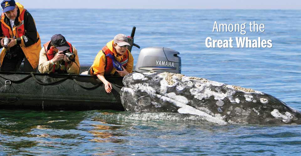 California gray whale, San Ignacio Lagoon, Mexico