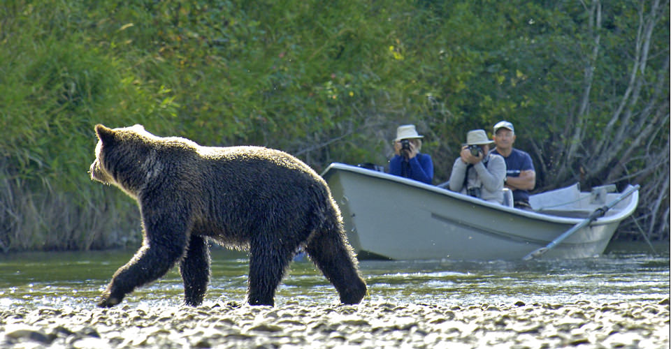 Grizzly bear, Atnarko River, Tweedsmuir Provincial Park, British Columbia
