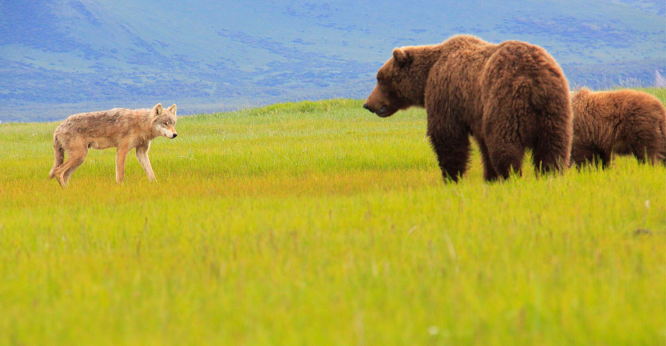 Gray wolf and brown bears, Katmai National Park, Alaska, USA