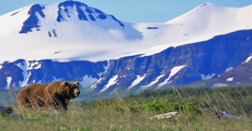 Brown bear, Katmai National Park, Alaska, USA