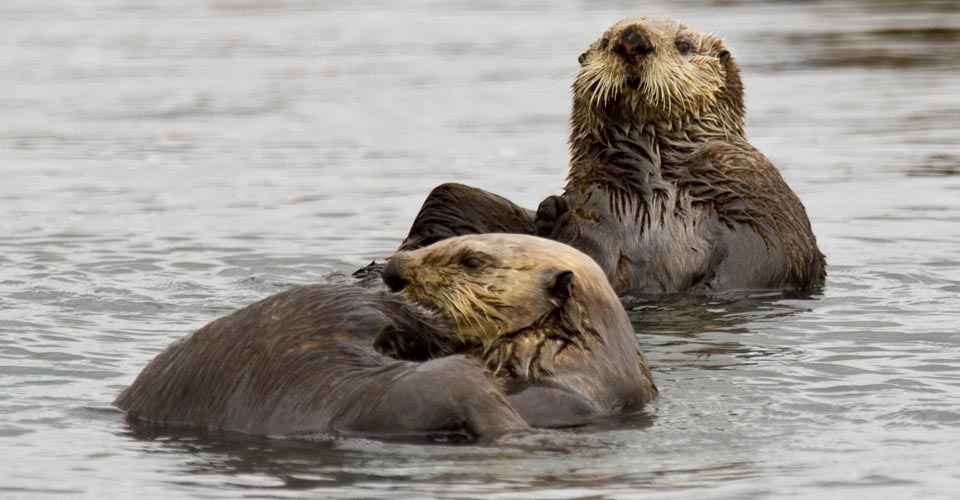 Sea otters, Kodiak, Alaska, USA