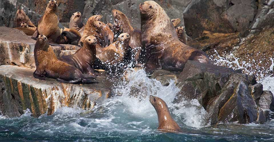 Steller sea lions, Kodiak, Alaska, USA