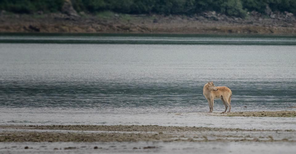 Wolf, Katmai National Park, Alaska, USA