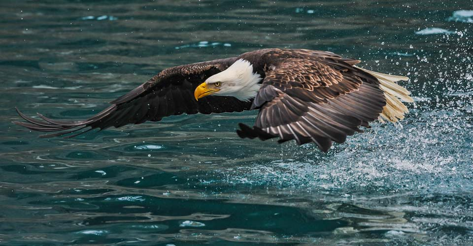 Eagle, Katmai National Park, Alaska, USA