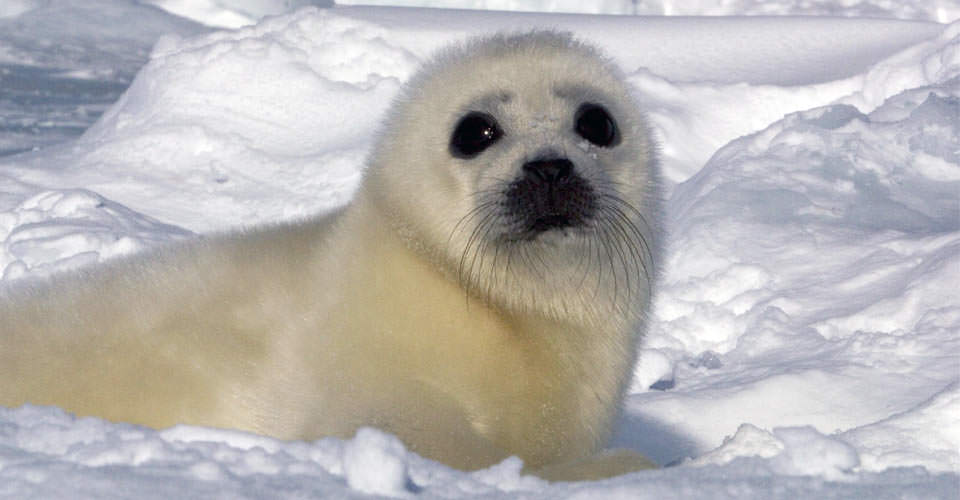 Baby Harp Seal, Gulf of St. Lawrence, Canada