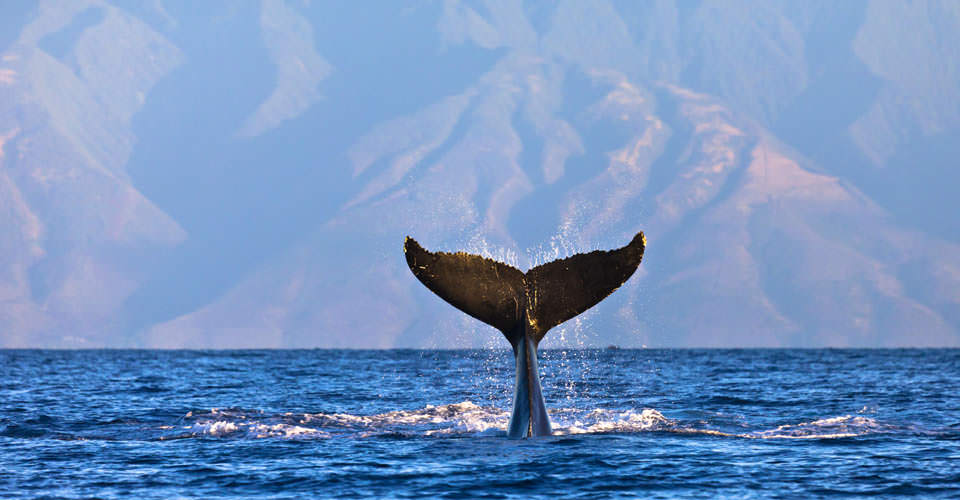 Humpback whale, Maui, Hawaii, USA