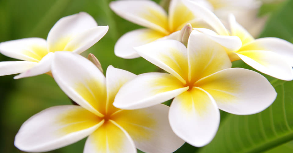 Plumeria flowers, Big Island, Hawaii. USA
