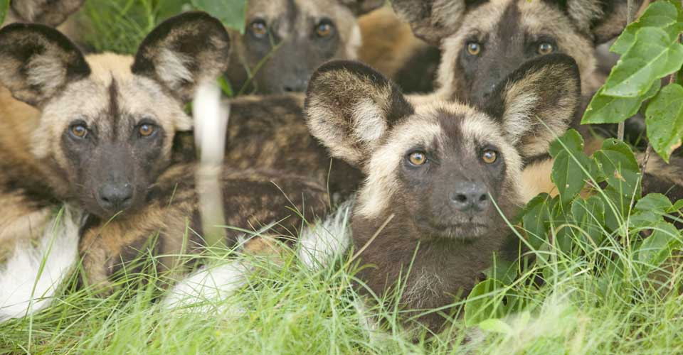 Wild dogs, Selous Game Reserve, Tanzania