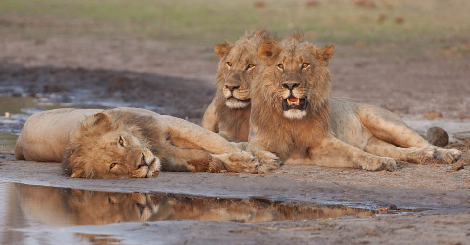 Lion, Ruaha National Park, Tanzania