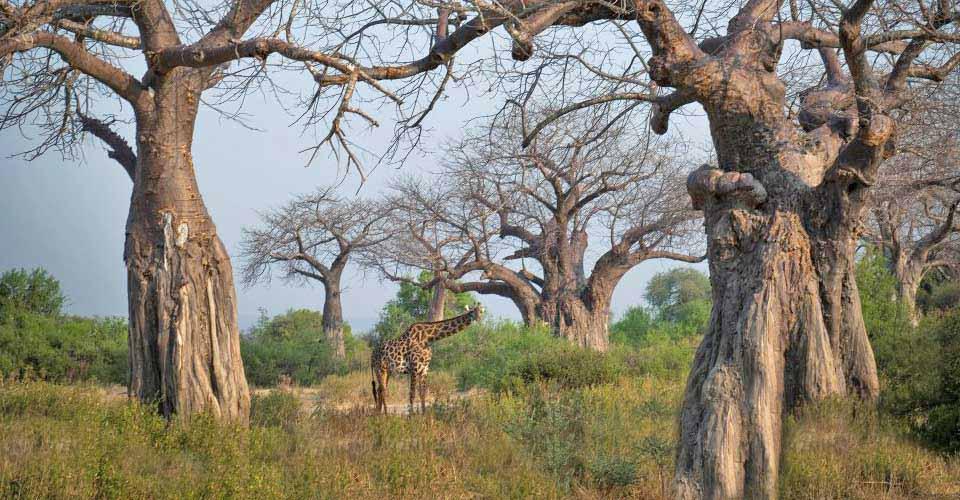 Maasai giraffe, Ruaha National Park, Tanzania