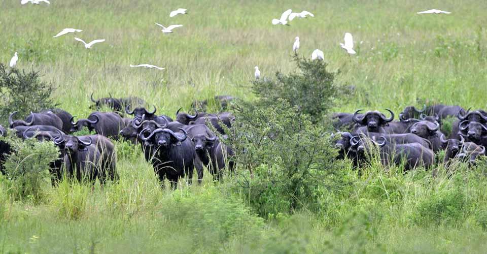 Cape buffalo, Katavi National Park, Tanzania