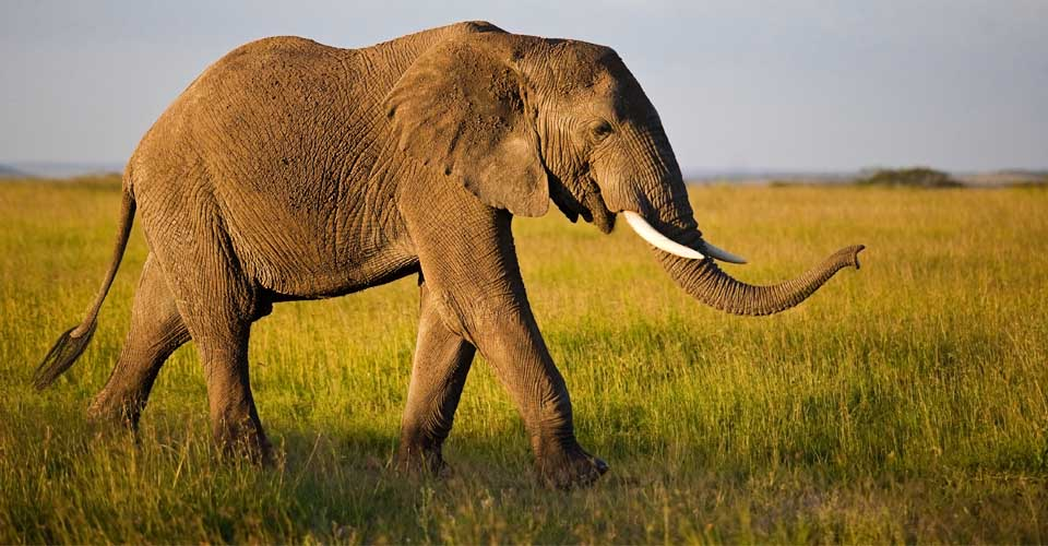 African elephant, Ruaha National Park, Tanzania