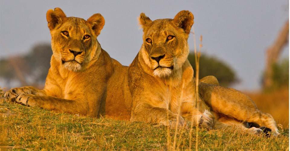 Lion, Katavi National Park, Tanzania