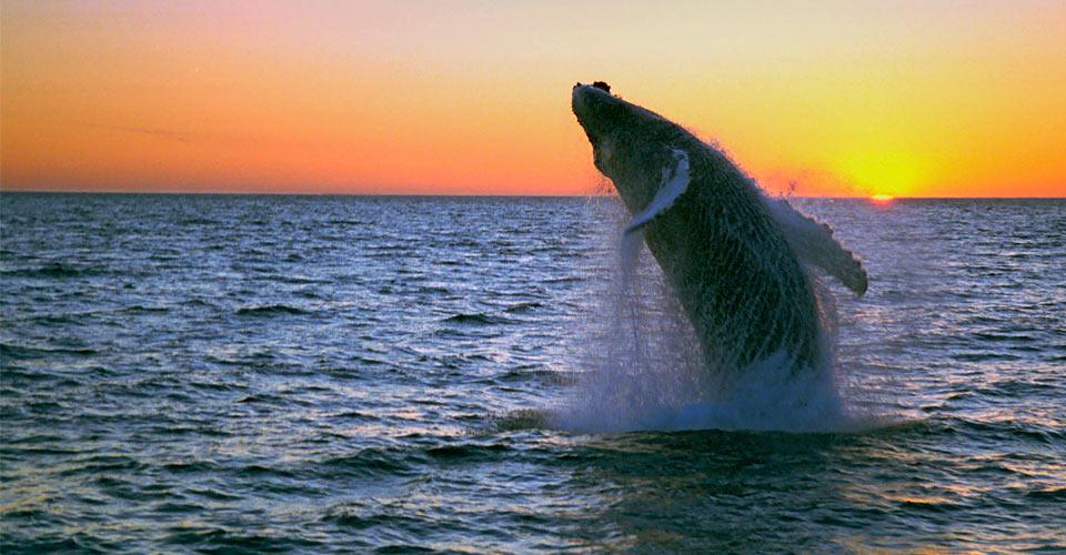 Humpback whale, Westfjords, Iceland